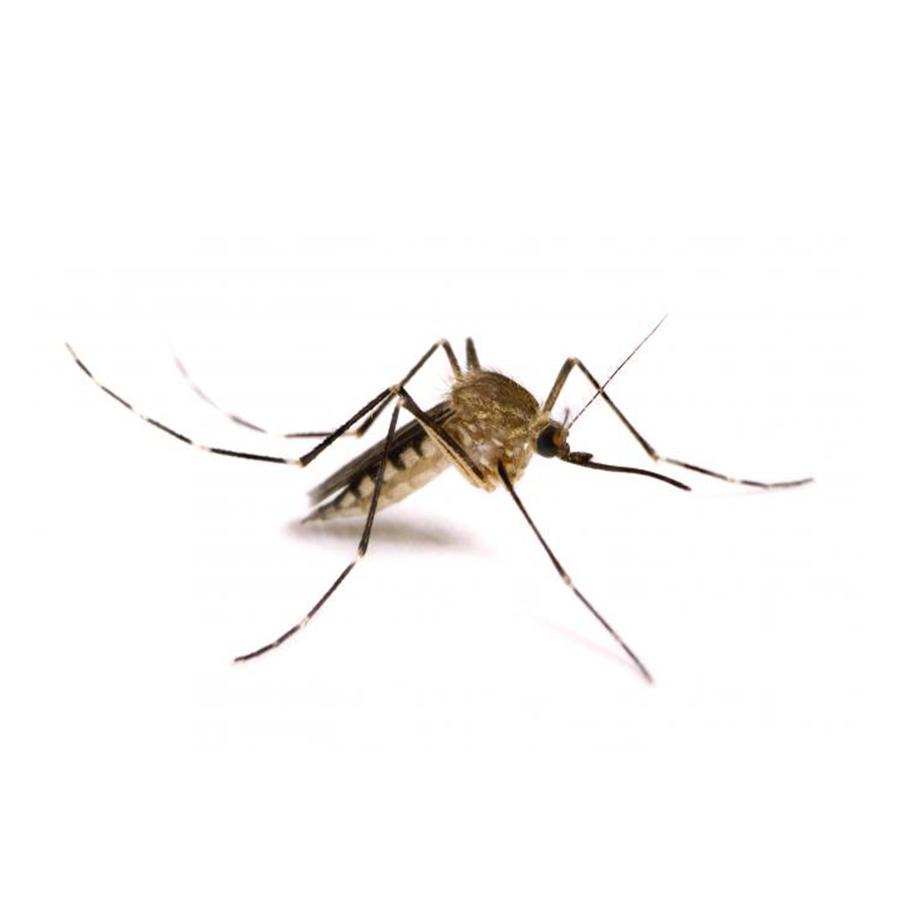 Disinfestazione da zanzare m for Pesci da laghetto mangia zanzare