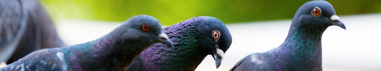 Allontanamento Colombi e piccioni